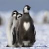 Un pingüino que en su muda exhibe un corazón en el pecho