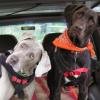 Viajando con perros