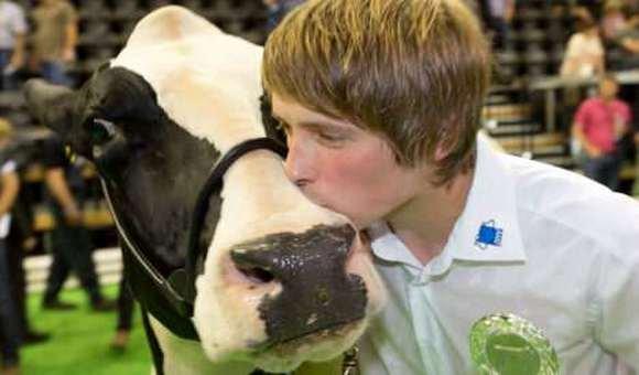 Vacas compiten en un concurso de belleza